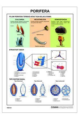 VCB_33 Porifera_d