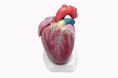 BMD 59 Human Heart Model_d